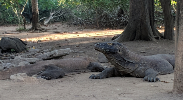 komodo dragons, komodo island, komodo national park, indonesia