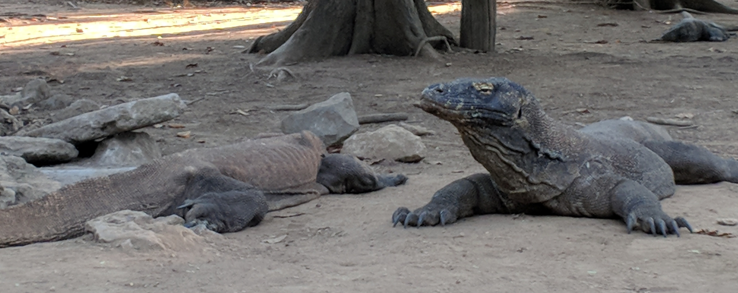 komodo national park, komodo dragon, Indonesia, Komodo Island