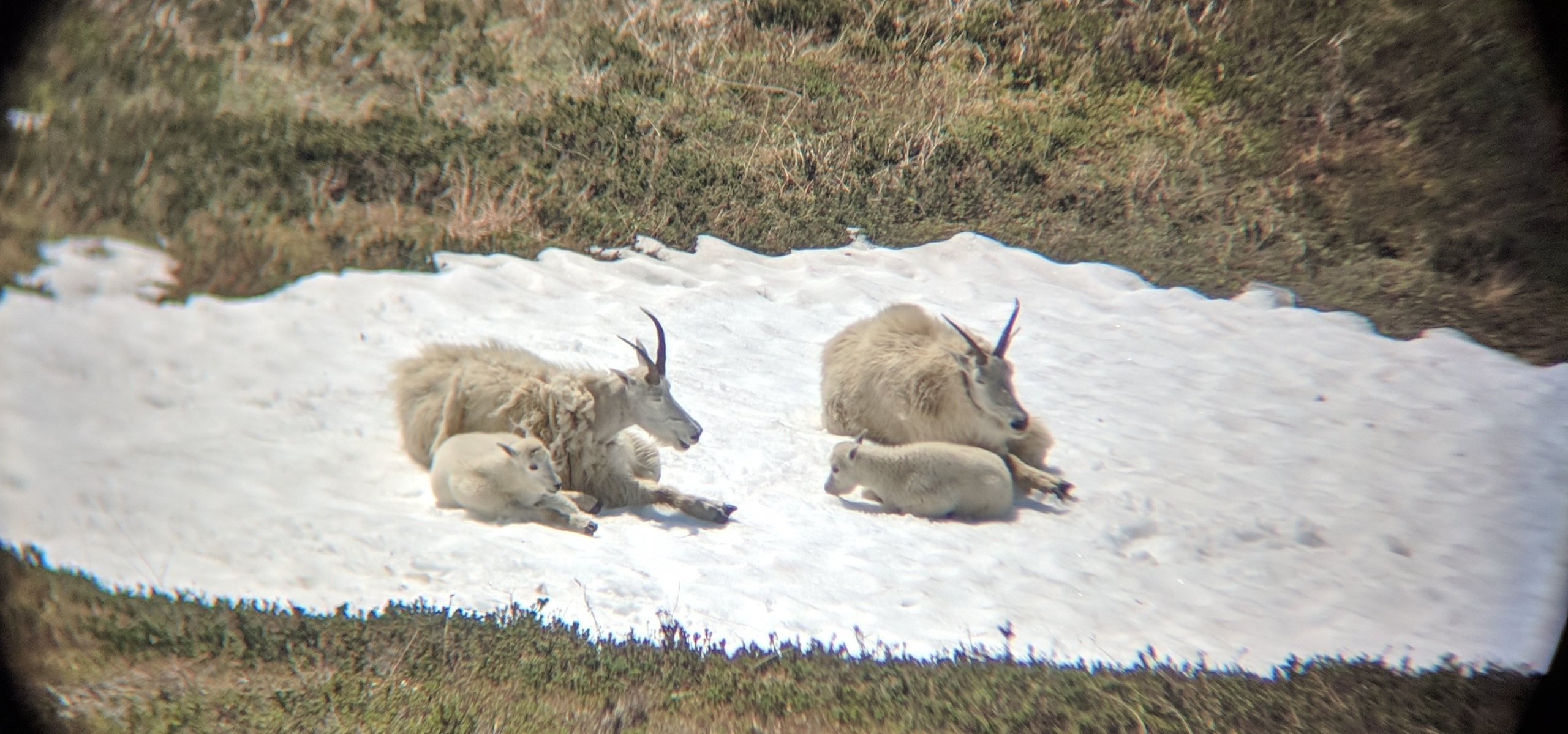 Mountain Goats through binoculars harding icefield trail hike seward alaska kenai fjords national park