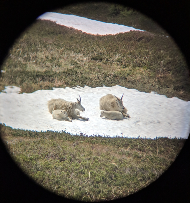 Mountain Goats through binoculars harding icefield trail hike seward alaska kenai fjords national park